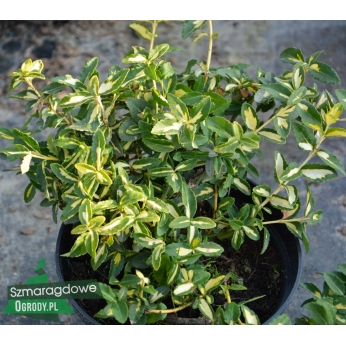 Trzmielina Fortune'a - SUNSPOT - Euonymus fortunei