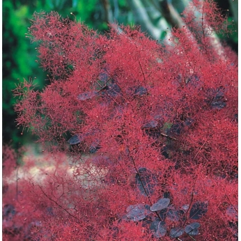 Perukowiec podolski - ROYAL PURPLE - Cotinus coggygria
