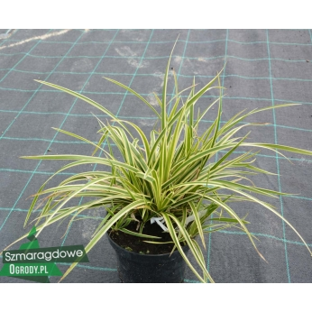 Turzyca - ICE DANCE - Carex Morrowii