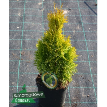 Żywotnik zachodni -  GOLDEN SMARAGD ® ( Janed Gold) - Thuja occidentalis