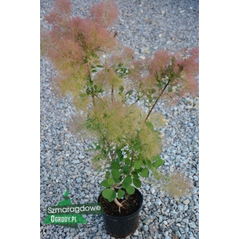 Perukowiec podolski - YOUNG LADY ® - Cotinus coggygria