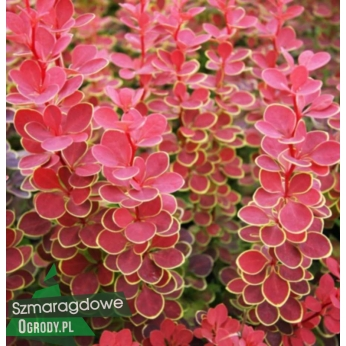 Berberys Thunberga - ORANGE SUNRISE  - Berberis thunbergi